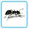 12-Ants V1.42 绿色汉化版—电脑玩累了 桌面放几只红蚂蚁 黑蚂蚁玩玩-黑蚂蚁, 红蚂蚁, 12-Ants V1.42 绿色汉化版